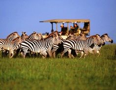 Dreaming of an African Safari Vacation? Lion World Travel has been delivering affordable luxury Safari holidays to Africa for 50 years. Tanzania, Kenya, Wyoming, Chutes Victoria, Safari Holidays, African Safari, East Africa, Africa Travel, Zebras