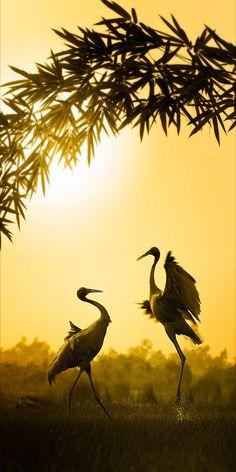 Red Crane mating dance - beautiful