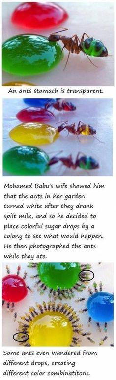 Ants experiment kindergarten/ preeschool. Myror experiment, kan löna sig att ha förstoringsglas till alla barn, kolla att färgämnet i sockerlösningen är giftfri. Vilka färgkombinationen uppstår, vilken myra har hunnit till flest färger? etc.
