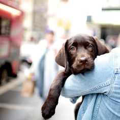 Mason, Labrador Retriever (3 m/o), 18th & Broadway, New York, NY