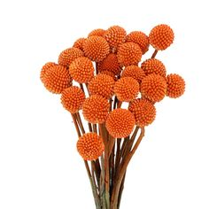 Orange Billy Ball flowers, also known as Craspedia, are fresh cut bulk flowers feature long brilliant green stem, on top of which rests a sphere shaped gorgeous head. Our Billy Balls add a fun and unique filler to wedding bouquets, table centerpieces and flower arrangements. Shipped fresh from the...