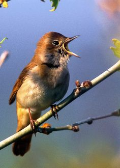 The Nightingale (Luscinia megarhynchos) may look plain, but they sing quite a song once the sun goes down. Learn more here! Nightingale Bird, Woodlice, Australian Parrots, Nocturnal Birds, Long Eared Owl, Barred Owl, Birds And The Bees, Dawn And Dusk, Brown Bird