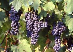 Freisa is a red wine grape whose aromas suggest salty raspberry and rose petal fragrances, while its palate mingles both bitter qualities with its essential sweetness. http://www.snooth.com/varietal/freisa/