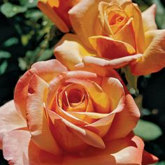 Tahitian Sunset Peach-Apricot Hybrid Tea Rose...these are like the roses we had for our wedding!