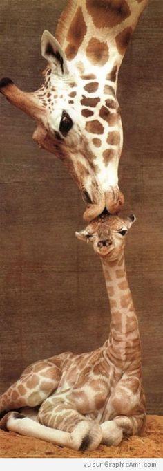 Une girafe câline son girafon.