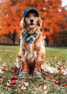 Click The Link for watching more funny and cute Golden Retriever videos. Fall Pictures, Dog Pictures, Fall Dog Photos, Dog Christmas Pictures, Cute Baby Animals, Animals And Pets, Images Vintage, Cute Dogs And Puppies, Doggies