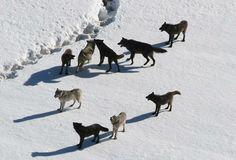 """Rick Lamplugh—who excerpted this article—is the author of In the Temple of Wolves. He uses a portion of the profits from the Amazon sales of that book to advocate for wolves by creating and paying to promote posts such as this one. To """"Look Inside"""" In the Temple of Wolves: http://amzn.to/Jpea9Q  2007 photo of Yellowstone's Gibbon pack courtesy of NPS"""