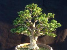 Boxwood harlandii Bonsai Art, Bonsai Plants, Bonsai Garden, Bonsai Trees, Bonsai Flowers, Boxwood Bonsai, Dwarf Trees, Miniature Trees, Forest Garden