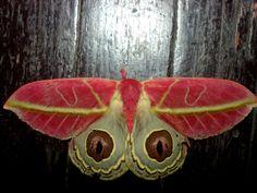 pink moth, Automeris, unknown sp. from Peruvian Amazon