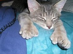 """Polydactyl cat I have one that looks just like this! all 4 paws have an extra """"toe"""" Pretty Cats, Beautiful Cats, Cute Cats, Crazy Cat Lady, Crazy Cats, Neko, Hemingway Cats, Baby Animals, Cute Animals"""
