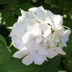 ~Hydrangea macrophylla Mme Emile Mouillère - Hortensia d'ombre produisant de belles boules blanches. #jardin #plante #fleur #blanc #jardinblanc #whitegarden #white #garden #promessedefleurs