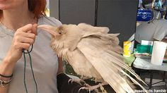 Beautiful albino Raven named Pearl. It is only one of four known albino Ravens in the whole world.