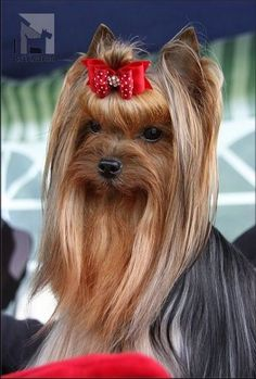 Yorkshire Terrier - Decoris Scarlett O´Hara Dog Training Methods, Dog Training Techniques, Best Dog Training, Chien Yorkshire Terrier, Yorkshire Terrier Haircut, Yorkie Dogs, Yorkies, Teacup Chihuahua, Pet Dogs