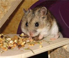 Hamster genome decoded: Researchers successfully sequence genome of Chinese hamster -- ScienceDaily