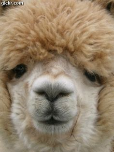 Alpacas - great personalities, unique unto themselves and are very curious. They make me laugh