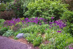 Great Bulbs and Perennials: Allium 'Purple Sensation'