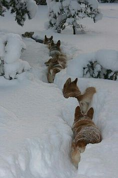 "The other wolves are thinking, ""He has no idea where we're going, does he?"""