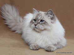 # Siberian cat