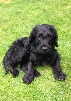 Last of a litter of 8 is this stunning, black Miniature Labradoodle Puppy for sale. Mum is our lovely family KC registered black Labrador. Black Labradoodle Puppy, Labradoodle Puppies For Sale, Baby Puppies, Cute Puppies, Dogs And Puppies, Miniature Labradoodle, Australian Labradoodle, Mini Goldendoodle, Goldendoodles