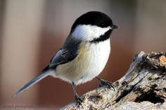 Black-capped Chickadee I call Double Dip