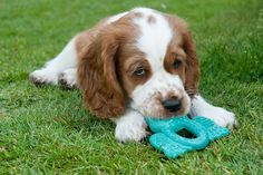hugo my Welsh Springer Spaniel when he was a cute 9 weeks old puppy!