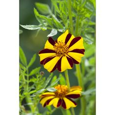 Tagetes patula 'Tall Scotch Prize' is handsome and elegant with its bicolour stripey flowers. This makes a great companion plant against… Edible Flowers, Cut Flowers, Companion Planting, Flower Seeds, Backyard Landscaping, Landscape Design, Scotch, Plants, Handsome