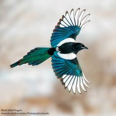 Large, flashy Black-billed Magpies, relatives of jays and crows, are social creatures that will gather in numbers to feed at carrion.