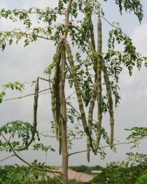 Moringa oleifera - Pendulous pods - Click to enlarge!