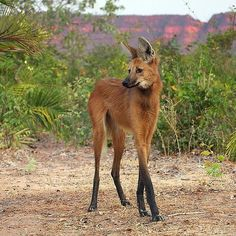 It's a Lobo Guara {The maned wolf (Chrysocyon brachyurus) is the largest canid of South America, resembling a large fox with reddish fur, black legs and mane, and white tuft on the end of its tail and a small white bib.}