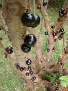 Jabuticaba – The Tree that Fruits on its Trunk.  The Jabuticaba is a fruit-bearing tree in the family Myrtaceae native to Minas Gerais and São Paulo states in southeastern Brazil.