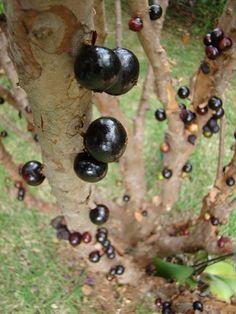Jabuticaba – The Tree that Fruits on its Trunk