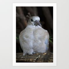 Baby Collared Dove #2 Art Print by Jinzha Bloodrose - $15.60