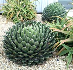 Or Queen Victoria's Agave, depending on who you ask. Pardee Street, Berkeley Agave victoria-reginae and some Aloe arborescens too. Succulent Gardening, Cacti And Succulents, Planting Succulents, Cactus Plants, Planting Flowers, Outdoor Plants, Air Plants, Outdoor Gardens, Agaves