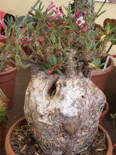 Pachypodium bispinosum. Plant of Cacteus