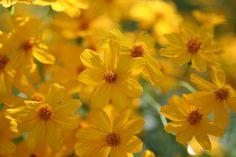 Tagetes lemmonii-Mount Lemmon Marigold by desertbotanicalgarden, via Flickr
