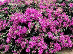 Bougainvillier: planter et tailler – Ooreka