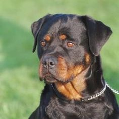 Teaching your Rottweiler to show teeth will scare away potential intruders.