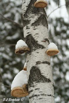 Fungi on Birch in Winter
