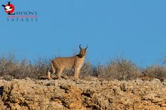 A stunning Caracal, seen in the Kgalagadi Transfrontier Park. Caracal, South Africa, Safari, Park, Parks
