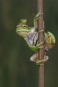 Funny Frogs, Cute Frogs, Frog Life, In Natura, Frog Art, Wild Spirit, Animal Crackers, Frog And Toad, Reptiles And Amphibians