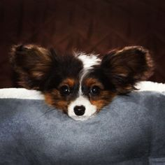 Papillon- I would call her Gizmo! Valentines gift maybe ha