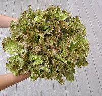 Drunken Woman Frizzy Headed Lettuce is the best lettuce I have eaten!!  YUM!