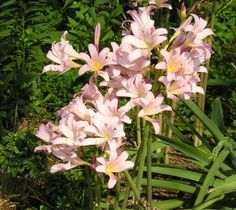 Surprise Lily - these grew at my grandmother's house, but when we tried to transfer the bulbs, nothing ever came up. :-(