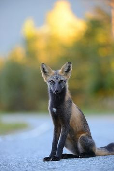 Cross foxes are relatively common in the northern areas of North America, and comprise up to 30% of Canada's red fox population.  Cross foxes were once abundant in Idaho and Utah before being largely killed off.  by Ben Andrew