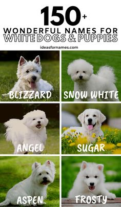 Wondering what to name your white dog? Here's a list of wonderful names for white dogs and puppies for your ivory-colored pup. Dog Names Unique, Cute Names, White Dogs, Cute White Puppies, Hyper Dog, Toy Dog Breeds, Dog Anxiety, Puppy Names, Dog Silhouette