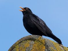 The blackbird is my favourite bird. His birdsong is beautiful, he darts around like a bird on a mission, and I love the way he patters across the roof of my garden workshop! Common Garden Birds, Merle, Blackbird Singing, Garden Workshops, Habitats, Woodland, Ireland, Wildlife, Songs