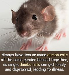 This Buzzle article will provide you with a comprehensive dumbo rat care guide to help this wonderful pet have a long and happy life. Description from buzzle.com. I searched for this on bing.com/images