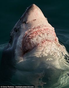 A terrifying great white shark captured in the waters of Gansbaai in South Africa...