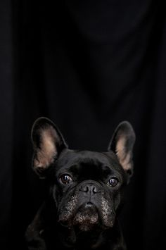 Enzo le Poo, French Bulldog