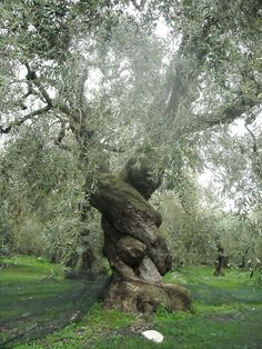 ancient olive tree.